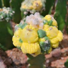 Astrophytum astetias Variegated cactus plants potted Garden decoration Plants