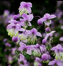 THALICTRUM DELAVAYI SEEDS 15+ FRESH SEPT 2017 V.HARDY PEREN  CHINESE MEADOW RUE.