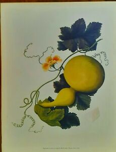 Vintage Botanical GOURD Print ~ 18th Century Chinese Water Color ~ HAWAII