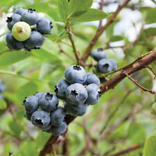 Blueberry Fruit Hardy Shrub Garden Plant Earliblue Early Season in 3L Pots T&M