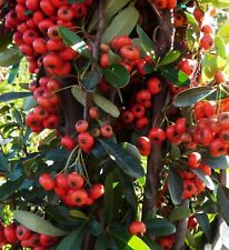 Chinese Firethorn Bush Seeds (Pyracantha fortuneana) 20+Seeds USA SELLER