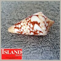 Conus Ammiralis #9) 55.6mm, SUPER CHOICE BEAUTY from the Philippines