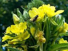 200 Samen Oenothera biennis, Nachtkerze, Nachtkerzenöl, Heilpflanze