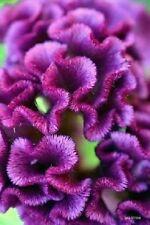 30+ Purple Cockscomb / Celosia Flower Seeds