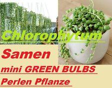 15x Chlorophytum graines mini Green AMPOULES de fleurs plant RARE A1 #232