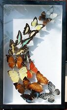 REAL BUTTERFLIES MOUNTED WOOD FRAME TAXIDERMY NEW COLLOCTION BIRDWING 3 D GIFT
