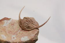 Russian trilobite Paraceraurus ingricus (SCHMIDT 1881) fossil Russia