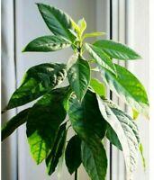 AVOCADO Tropical Fruit Live Tree Plant Seedling w/Roots Fresh Organic