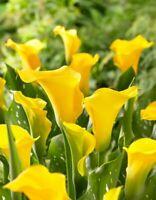 FREE SHIPPING USA - RARE 2 Calla Lily Florex Gold Bulbs, Arum Lily Zantedeschia