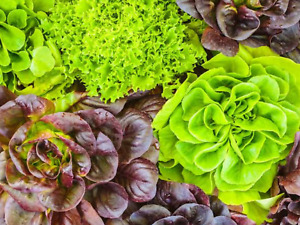 """Lettuce Seeds """"Mixed"""" (Approx 400 Seeds) Excellent Variety...."""