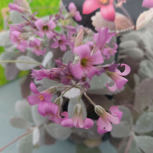 Kalanchoe Pumila     Besonders bezaubernde Blüten     Steckling  unbewurzelt