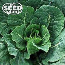 Vates Collard Green Seeds - 500 SEEDS-SAME DAY SHIPPING