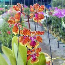 Rare orchid hybrid (seedling) - Oncidium noel schamrock x josephine x noorah