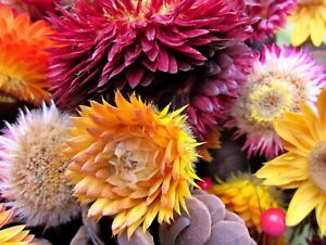 Everlasting Paper Daisy 250+ Seeds STRAWFLOWER Flowers Helichrysum MIxed Colours