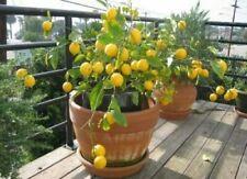 2 Lemon INDOOR Tree Seeds RARE Lime Potted Plant Fruit Garden Bonsai Plants