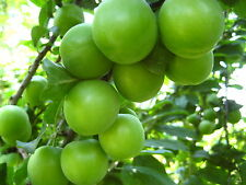 Can Plum (grafted) from Turkey