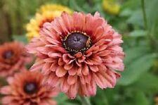 30+ Rudbeckia Sahara / Perennial Flower Seeds