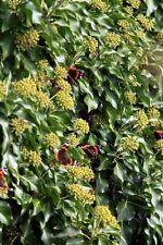 klettert überall hin und bringt Schmetterlinge mit: der blühende Efeu !
