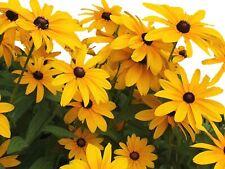 Black Eye Susan Yellow Daisy Flower Garden 25 Fresh Seeds Free Shipping in Usa