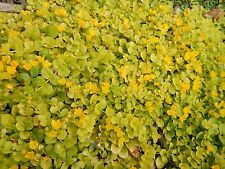 Creeping Jenny Groundcover - Yellow Flowers - 12 Rooted Plants