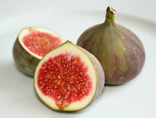 Organic Heirloom 50 Seeds African Fig Tree Exotic Fruit Seeds Common fig RARE