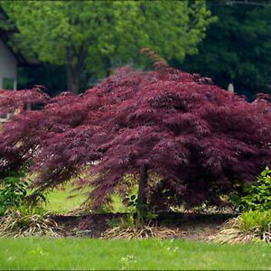 """4 Crimson Queen Lace leaf Weeping Japanese Maple CUTTINGS  5"""" to 8"""""""