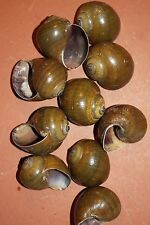 "(50), Green Pond Snail Shells, 2"" Snail Shells, Hermit Crab Shells, Lucky, #210"