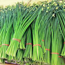 ERBA AGLINA 50 SEMI Aroma aglio scalogno Nira aromatica Erba Cipollina Cinese