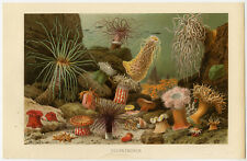 Antique Print-SEA ANEMONES-Brehm-1890