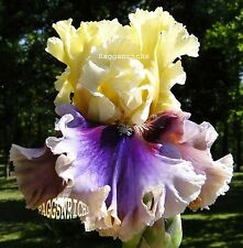 "Tall Bearded ""Carnival Capers"" Iris - Showy Fragrant Ruffles & Contrast '09"
