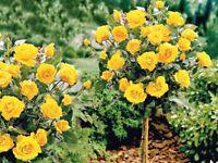 Gelbe Rose in Stamm 120cm Dünger Gratis