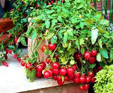CHERRY TOMATO - GARDEN PEARL - 150 seeds - Tomato seeds