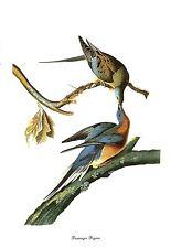 """1978 Vintage AUDUBON BIRDS """"PASSENGER PIGEON"""" Color Art JUMBO Lithograph"""