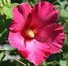 TONY Hibiscus mutabilis large deep-pink flowers decidious plant in 140mm pot