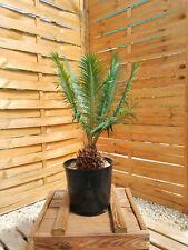 Cycas panzhihuaensis 11cm caudex, encephalartos, rustique cold hardy palmier