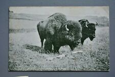 R&L Postcard: The Adam and Eve of America, Bison