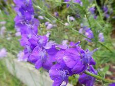 Larkspur - 100 Fresh Seeds - Gorgeous Blooms!