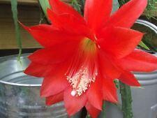 "EPIPHYLLUM Red Ackermanii Orchid Cactus  6"" cutting"