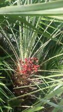 European Fan Palm (Chamaerops humilis) Fresh Seeds! (harvest 1/15/20)