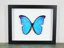 Blue Morpho Butterfly in a Frame