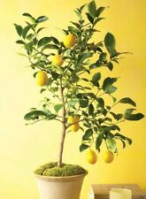 3+2 cuttings of lemon tree, for rooting and grafting