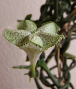 """Ceropegia sandersonii Parachute Flower Rooted Division 3"""" Pot (15)"""