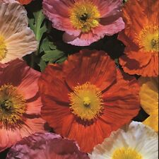 Kings Seeds - Papaver - Poppy - Iceland Giant - 1500 Seeds