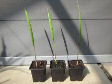 Jubaea chilensis - Honig Palme  -  Pflanze 30-40cm    bis -16°C Frost