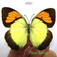 COLLECTION 50 pcs unmounted butterfly pieridae Ixias pyrene  CHINA A1 A1-