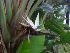 Giant White Bird of Paradise (Strelitzia reginae) - 1 Plant - 1 to 2 Feet Tall