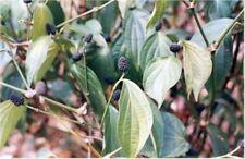 Piper peepuloides - Long Pepper - 10 Seeds