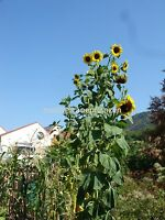 Russische Wagenrad-Riesen-Sonnenblume, der TITAN, bis 5 Meter, 20 Samen,20 seeds
