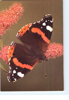 Red Admiral Butterfly, Jarrold & Sons Ltd, Vanessa Atalanta