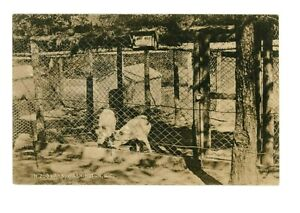 Minnie Brooke #126 Gray Wolves at Zoo Park Rock Creek Washington, DC pm 1910
